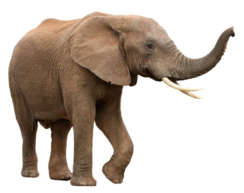 Elephant - Wild Animals PNG