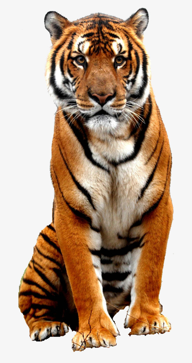 tiger, Animal, Wild Animals PNG Image and Clipart - Wild Animals PNG