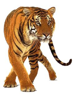 Tiger Images, Illustration, Big Cats, Overlays, Tigers, Brave, Clip Art,  Cutest Animals, Wild Animals - Wild Animals PNG