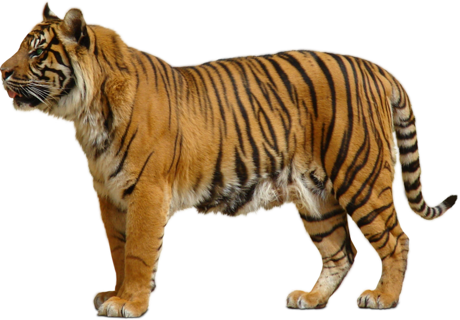Tiger PNG by sabirpure PlusPng.com  - Wild Animals PNG