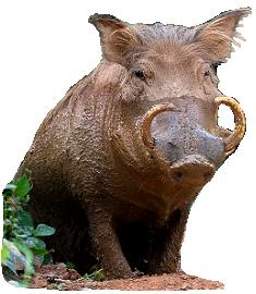 Boar PNG - Wild Boar PNG HD