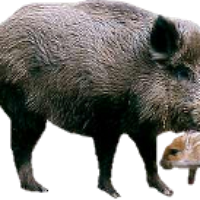 photo wildboar.png - Wild Boar PNG HD
