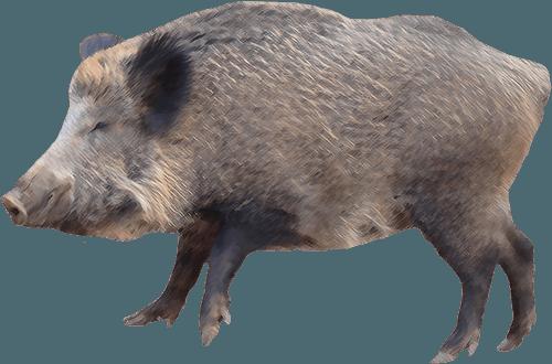 Wild hog - Wild Boar PNG HD