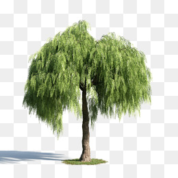 Green tree material, Plant, Green Willow, Trees PNG Image - Willow Tree PNG HD