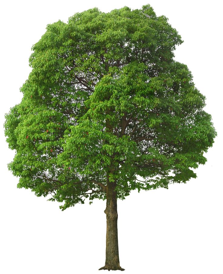 Large Green Tree PNG Picture - Willow Tree PNG HD