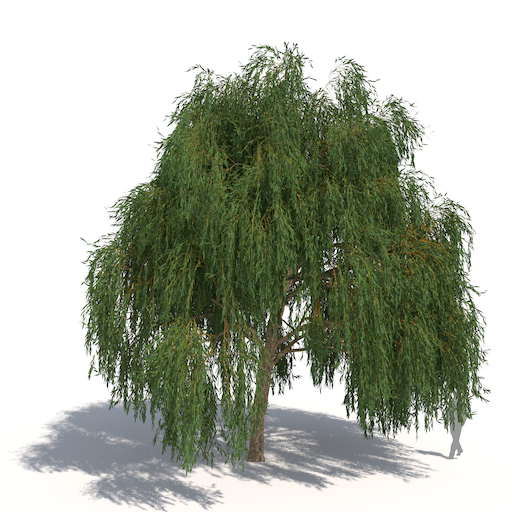 Salix alba Tristis - Willow Tree PNG HD