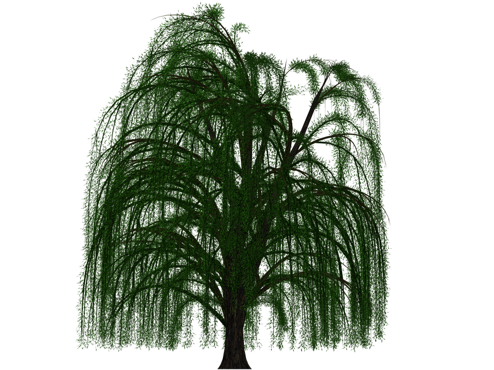 Tree Deciduous Tree Pasture Digital Art Is - Willow Tree PNG HD