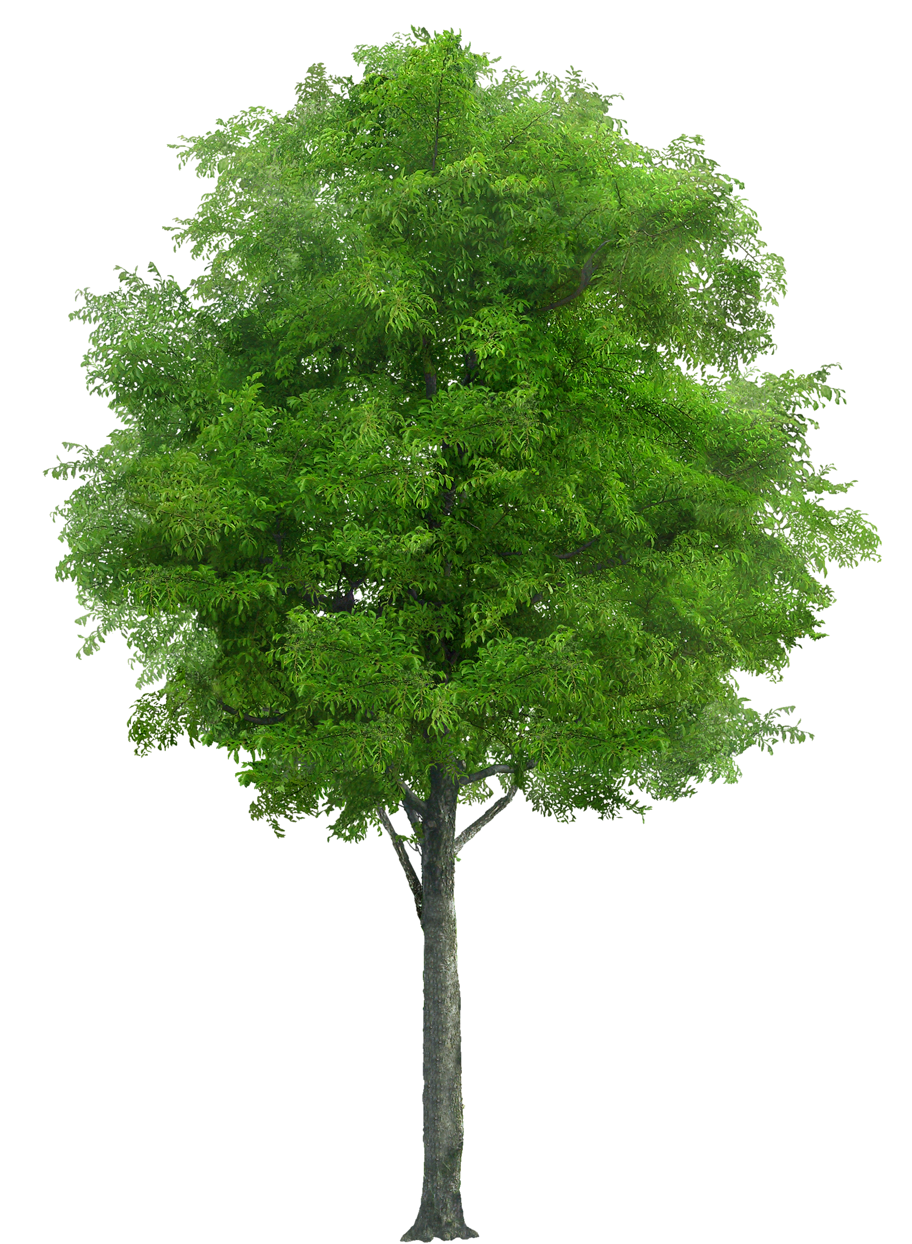 tree png image - Willow Tree PNG HD