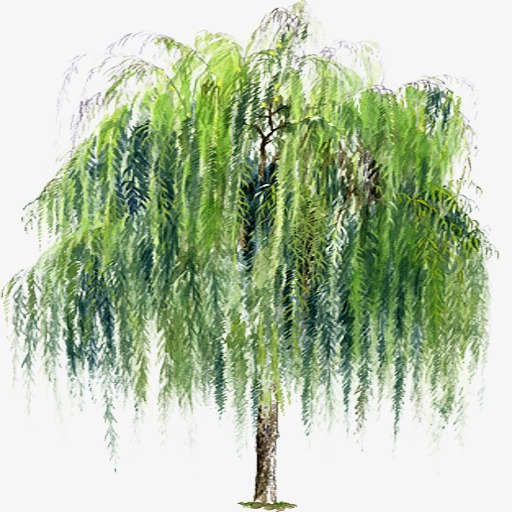 weeping willow, Weeping Willow, Hand-painted Willow, Weeping Willow Tree PNG  Image - Willow Tree PNG HD