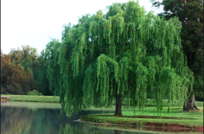 Willow Tree.png - Willow Tree PNG HD