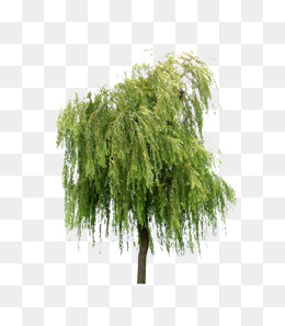 Willow Tree PNG HD - 130436