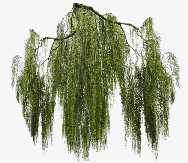 Willow Tree PNG HD - 130444