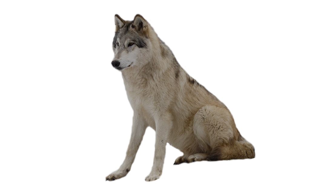Wolf HD PNG - 91433