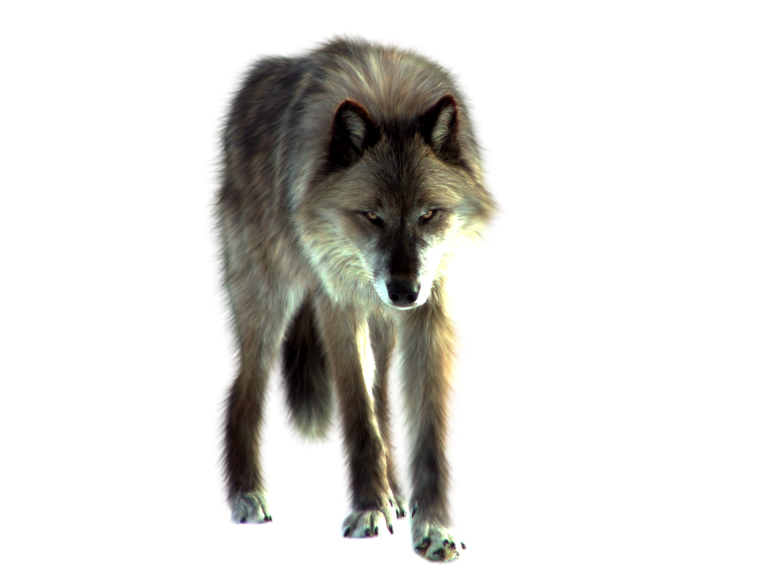 Wolf HD PNG - 91431