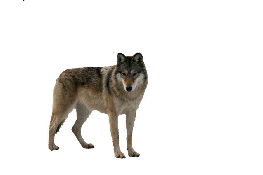 Wolf HD PNG - 91441