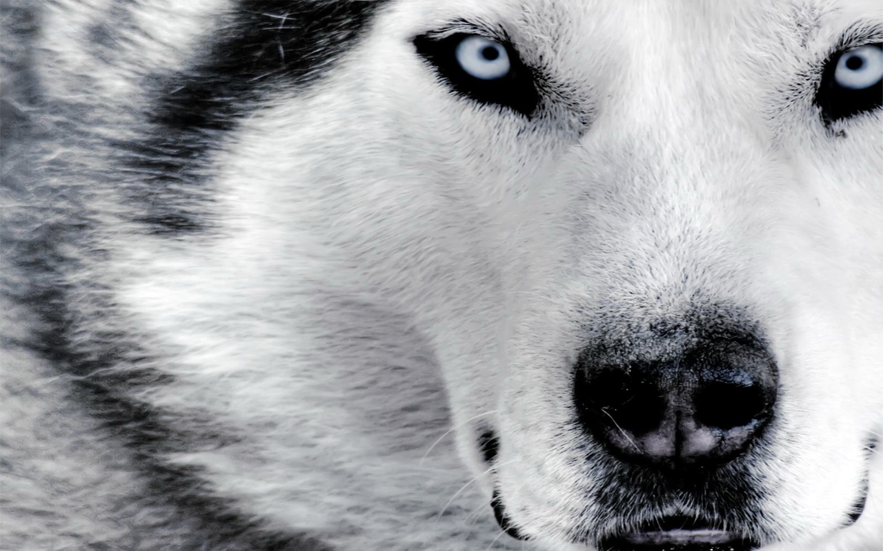 Wolf HD PNG - 91442