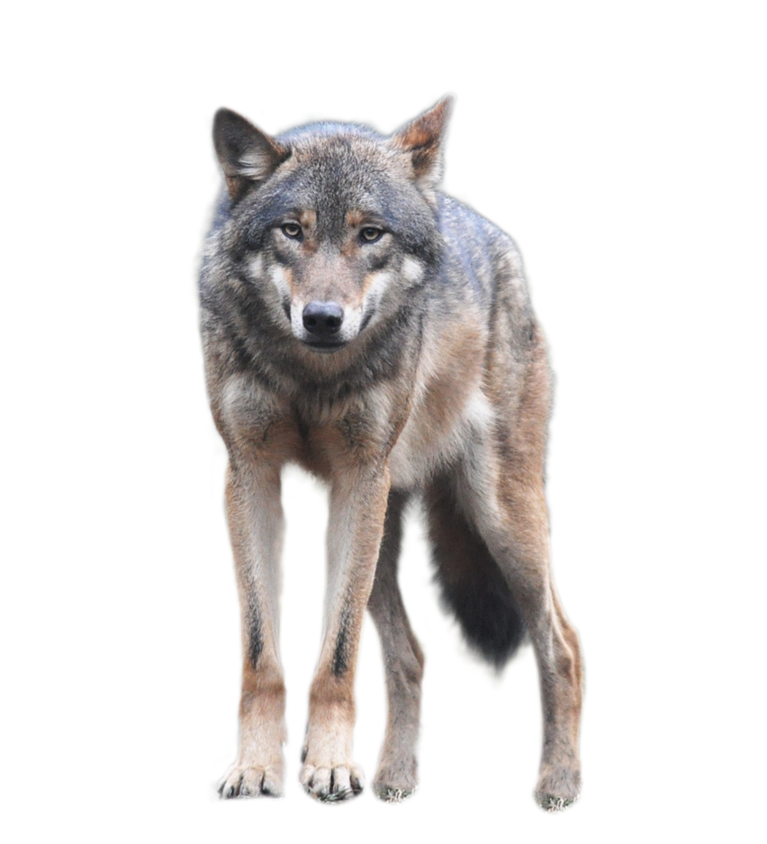 Wolf HD PNG - 91437