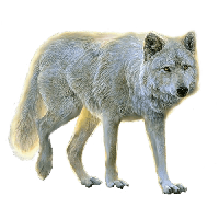 Wolf HD PNG - 91439