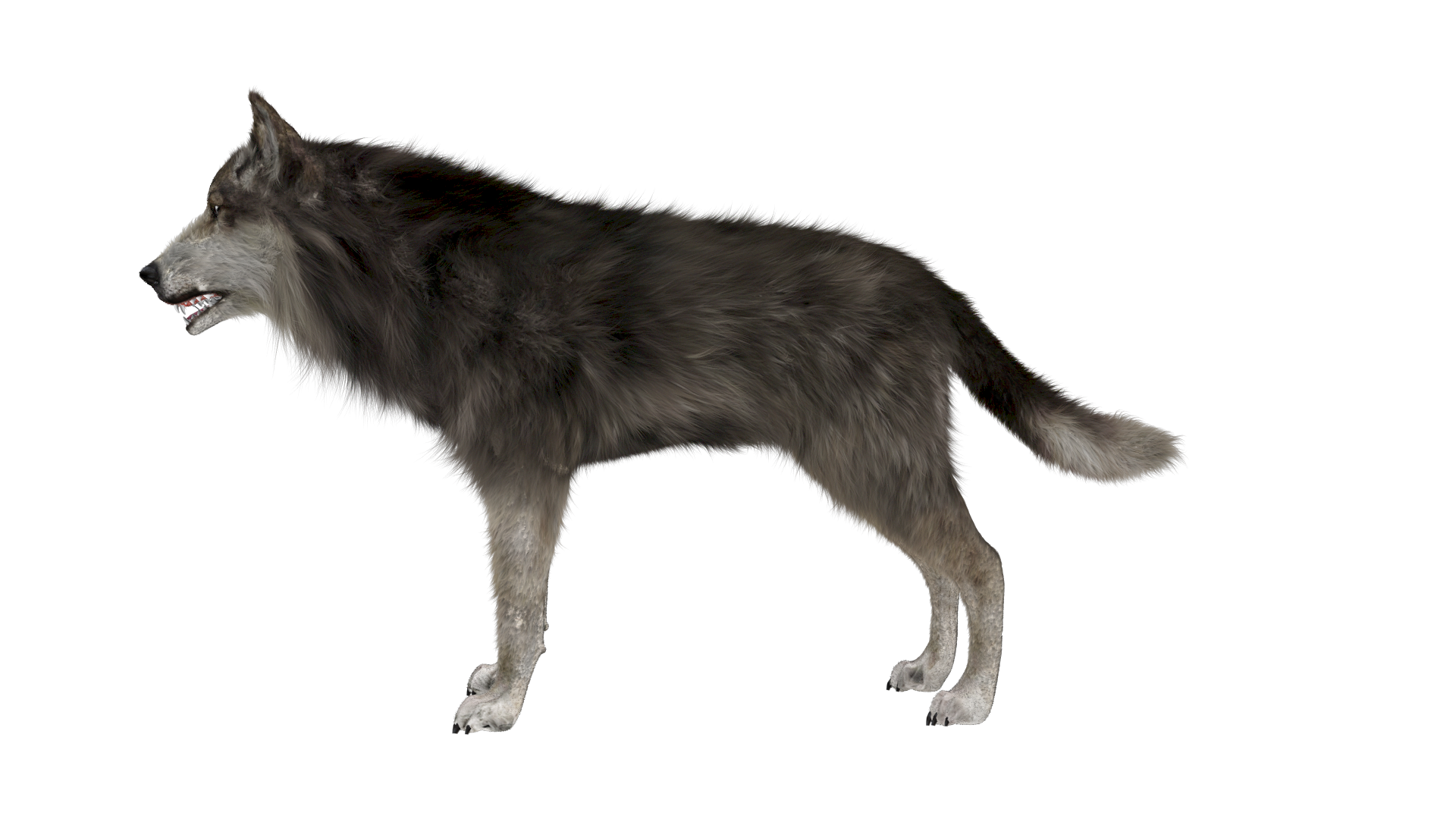 Wolf HD PNG - 91440