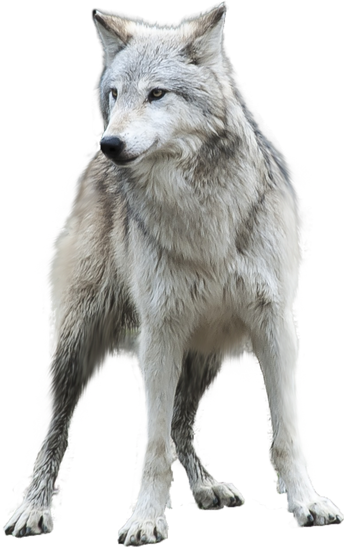 Grey Wolf png by gayaliberty PlusPng.com  - Wolf PNG
