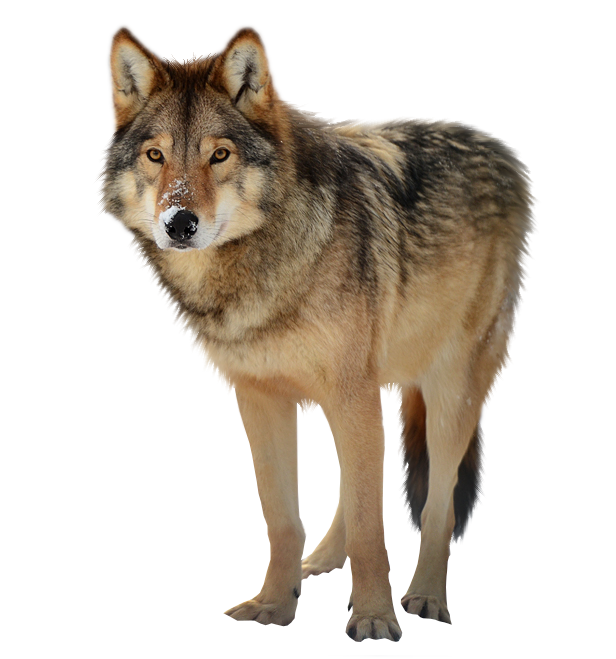 Wolf PNG - 21420