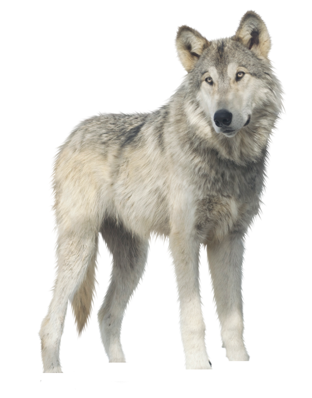 Wolf PNG - 21422