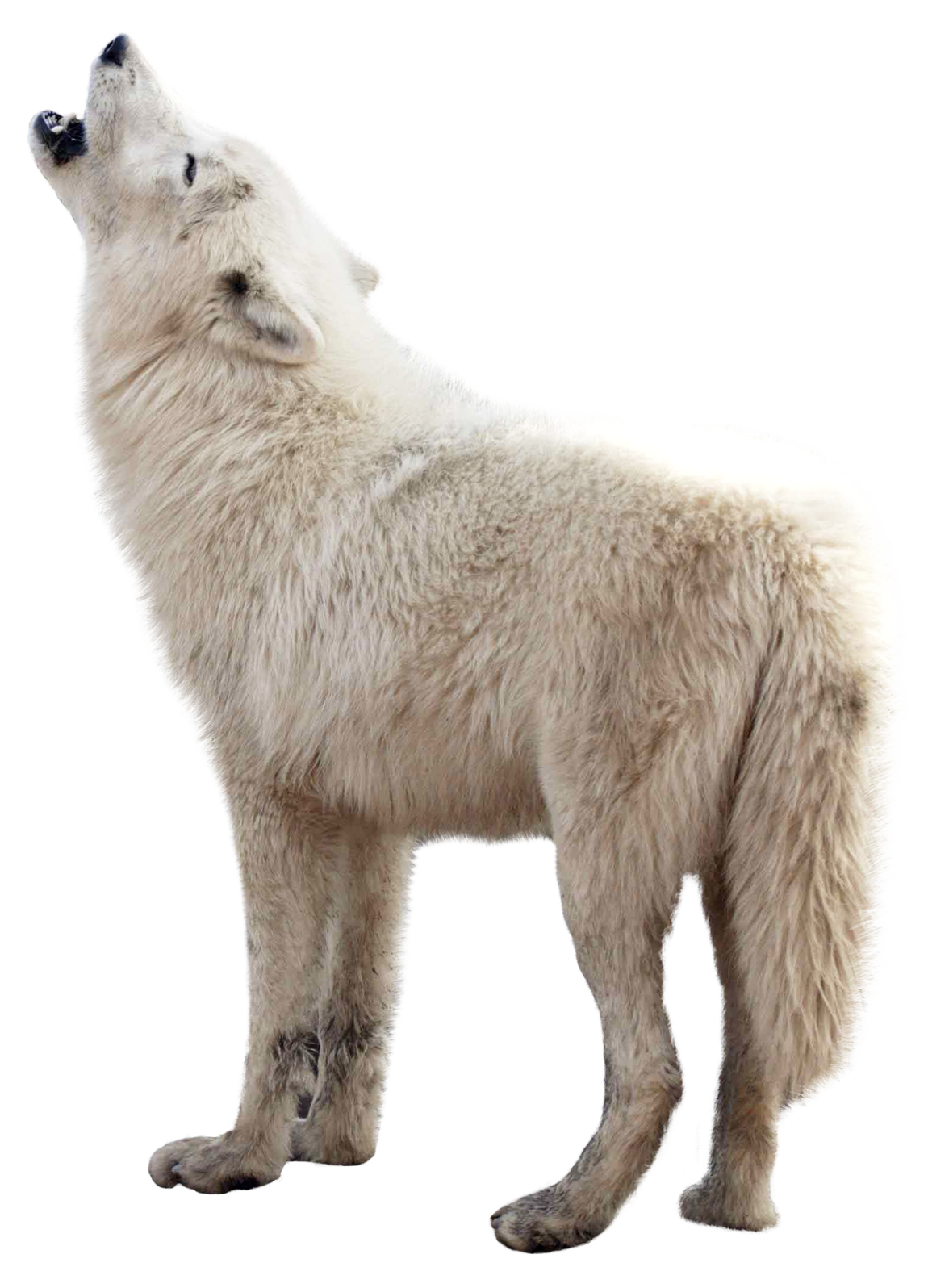 Wolf PNG - 21421