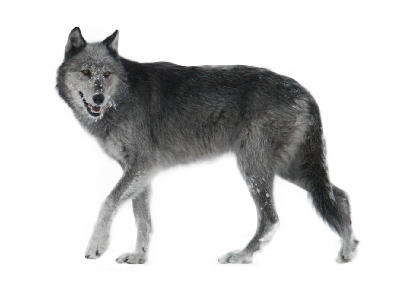 Wolf PNG - 21426