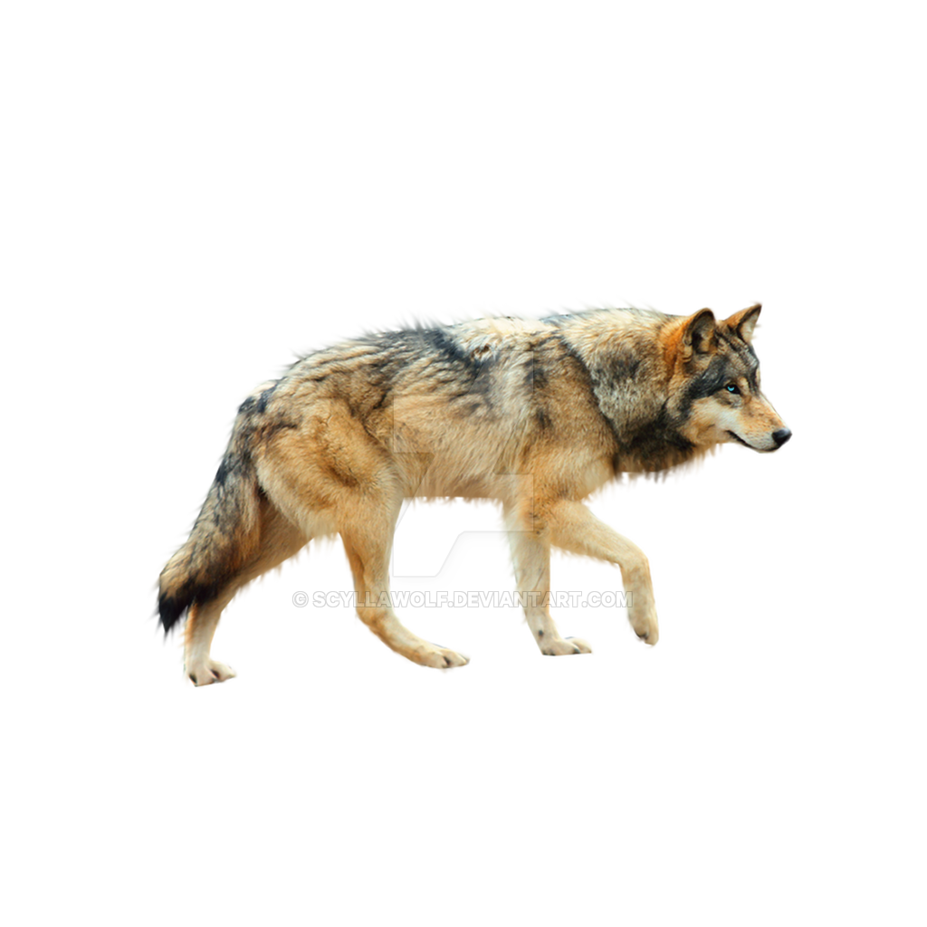 Wolf png. by ScyllaWolf - Wolf PNG