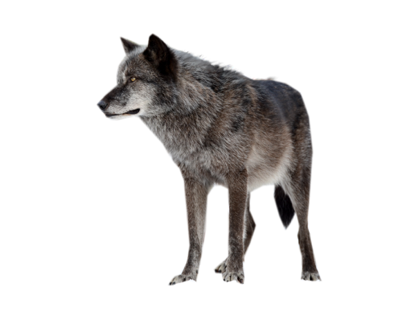 Wolf PNG - 21425
