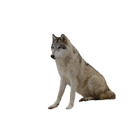 Wolf PNG - 21427