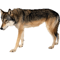 Wolf PNG - 21434