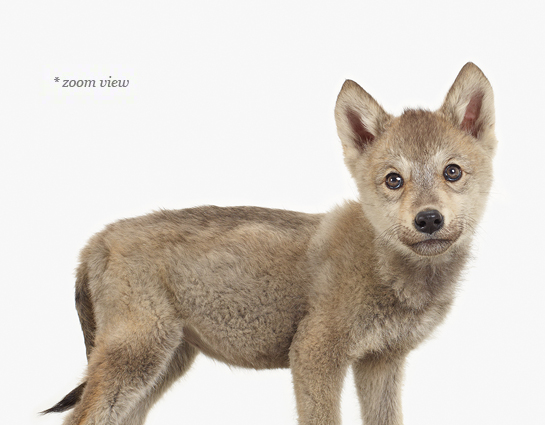 Save - Wolf Pup PNG