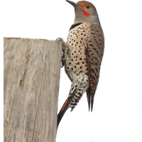Woodpecker PNG
