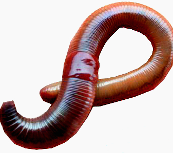 Worms PNG - 16704