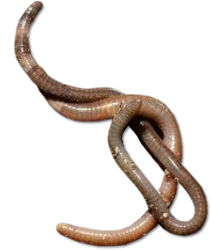 Worms PNG - 16701