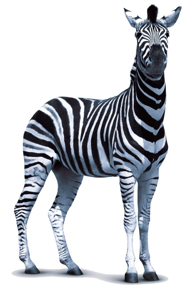 Download PNG image - Zebra Png - Zebra HD PNG