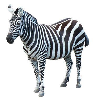 Download PNG image - Zebra Png Image - Zebra HD PNG