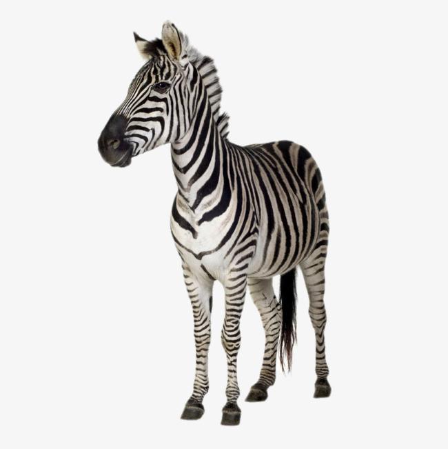 HD Zebra, Zebra, Animal, Adult Zebra Free PNG Image - Zebra HD PNG