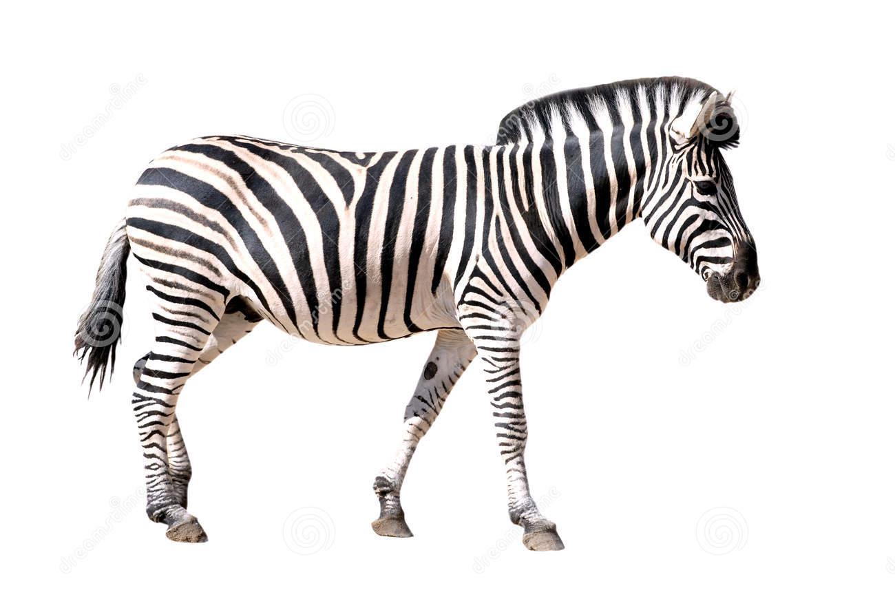 Mulierchile - Zebra HD PNG