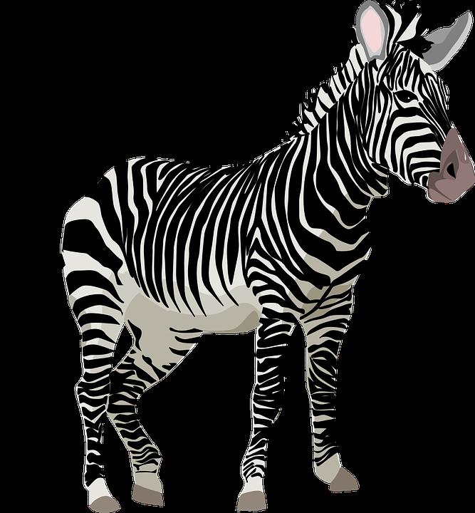 Zebra, Africa, Animal, Safari, Zoo - Zebra HD PNG