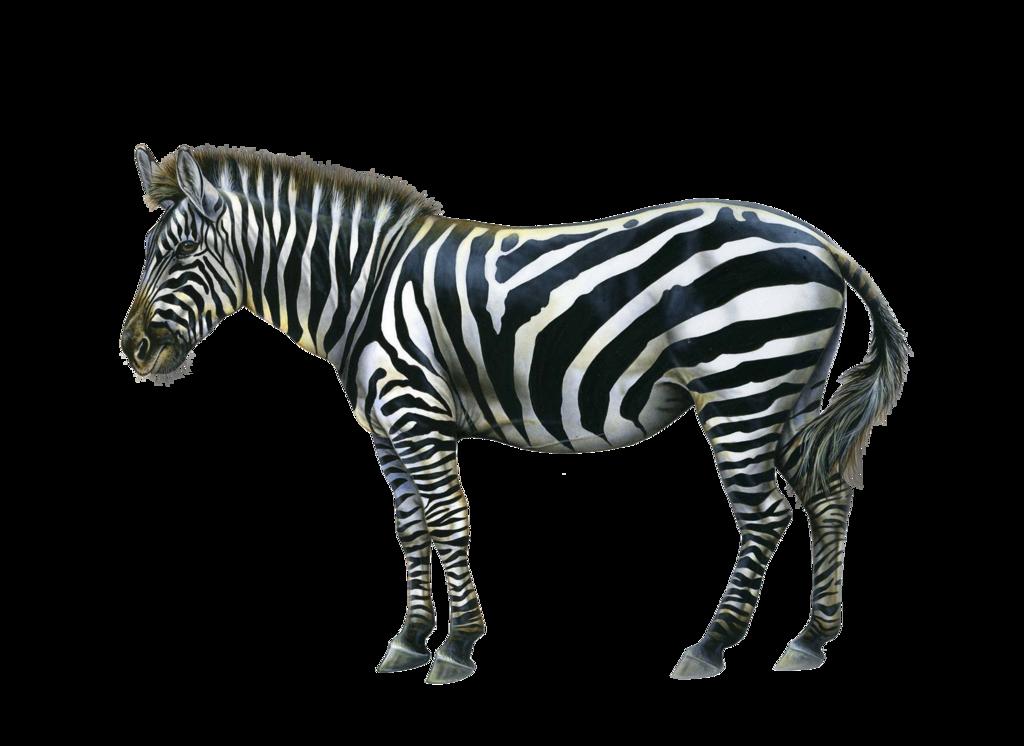 Zebra HD PNG