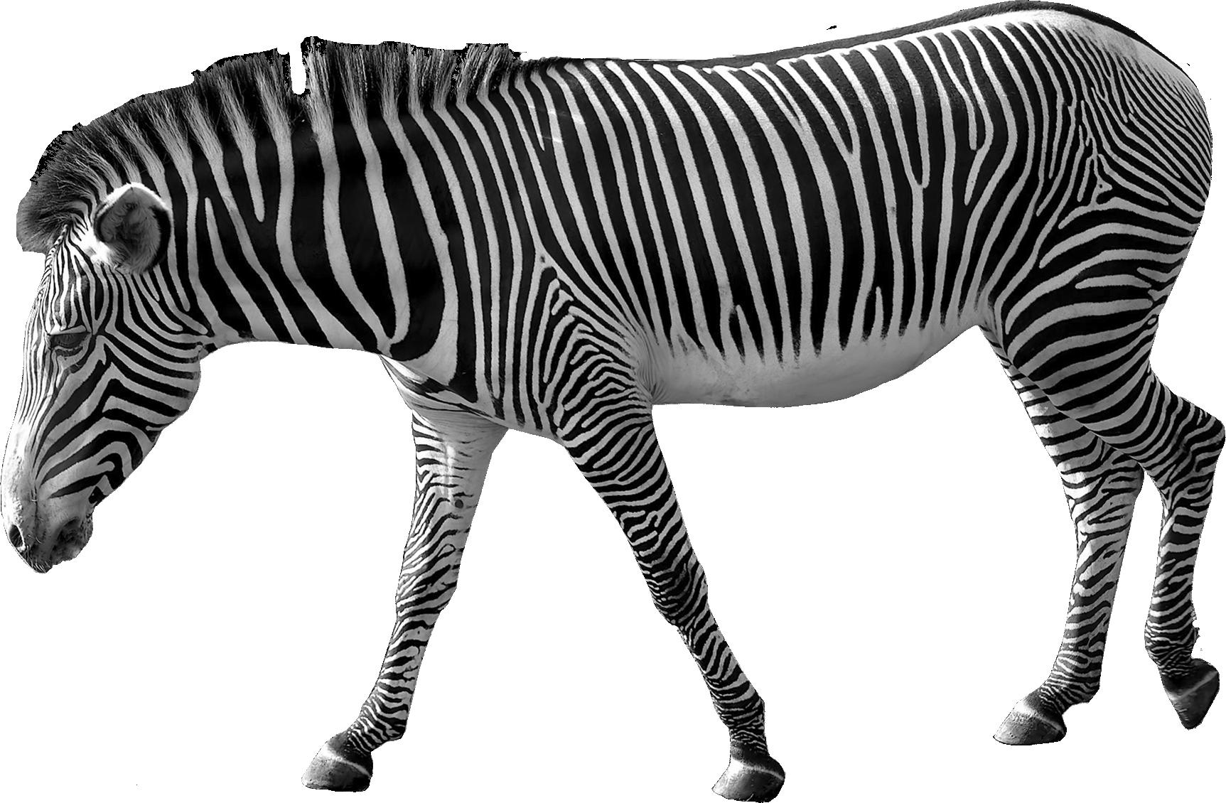 Zebra PNG image - Zebra PNG - Zebra HD PNG