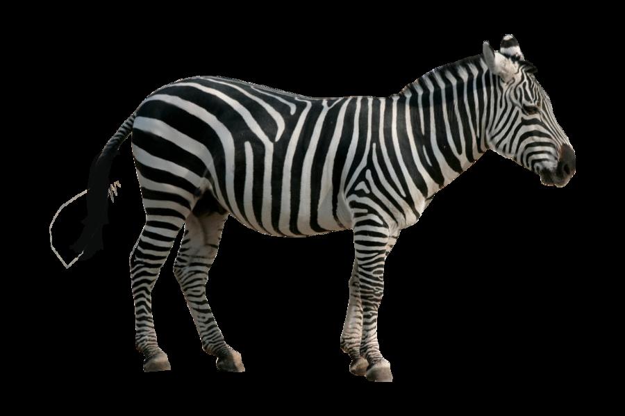 Zebra PNG-PlusPNG.com-900 - Zebra PNG