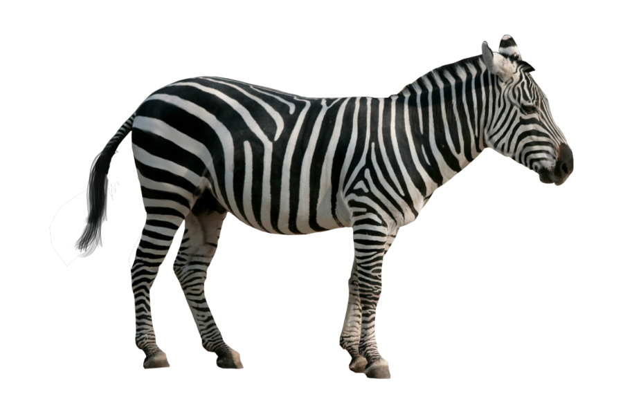 Zebra PNG - 21994