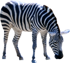 Zebra PNG - Zebra PNG