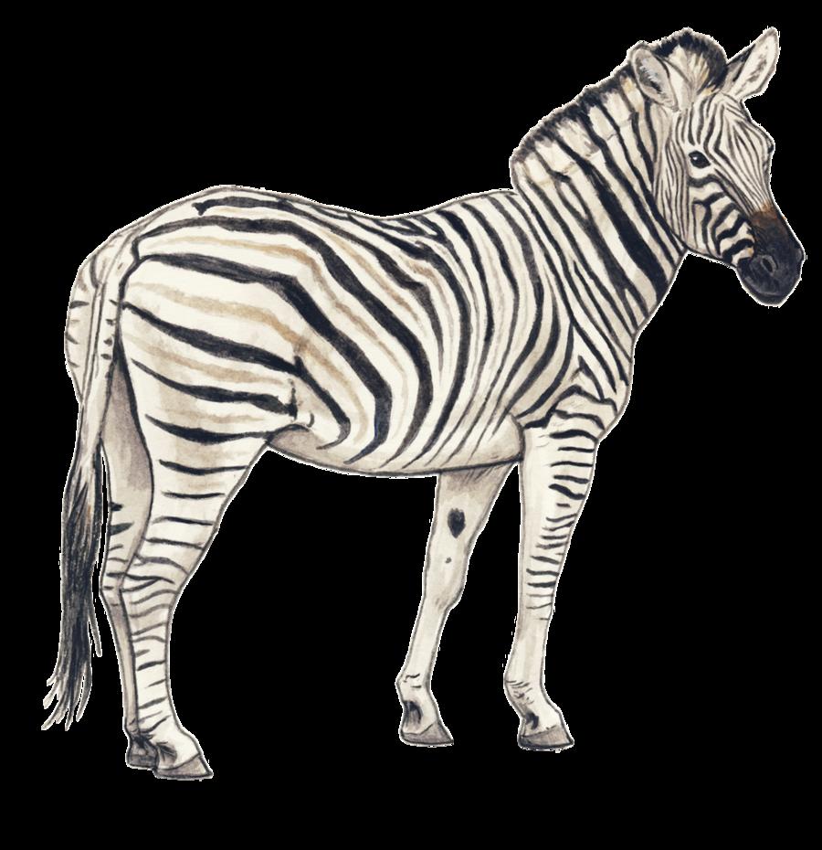 Zebra PNG Clipart
