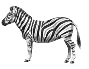 black and white zebra clipart - Zebra PNG HD