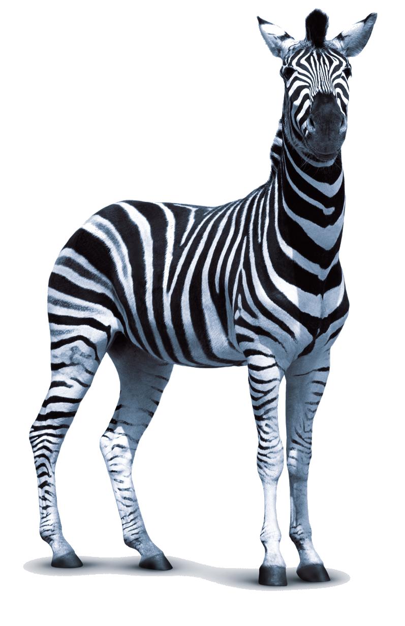 Download PNG image - Zebra Png - Zebra PNG HD