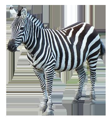 Download PNG image - Zebra Png Image - Zebra PNG HD